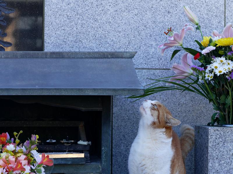 献花香台に顔を擦り付ける茶白猫1