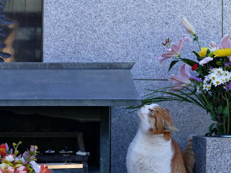 献花香台に顔を擦り付ける茶白猫2