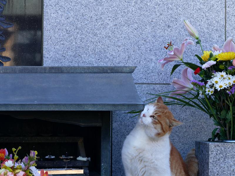 献花香台に顔を擦り付ける茶白猫3