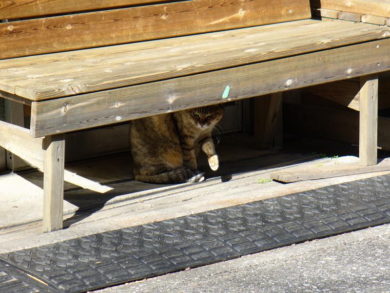 木製ベンチの下のキジ白猫1