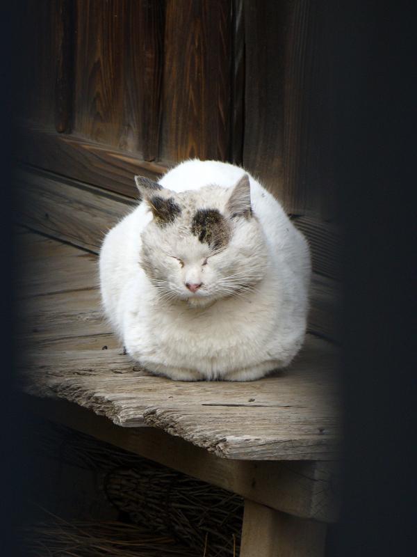 古びだ縁側の白キジ猫