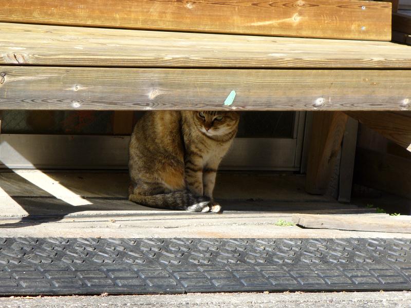 木製ベンチの下のキジ白猫2