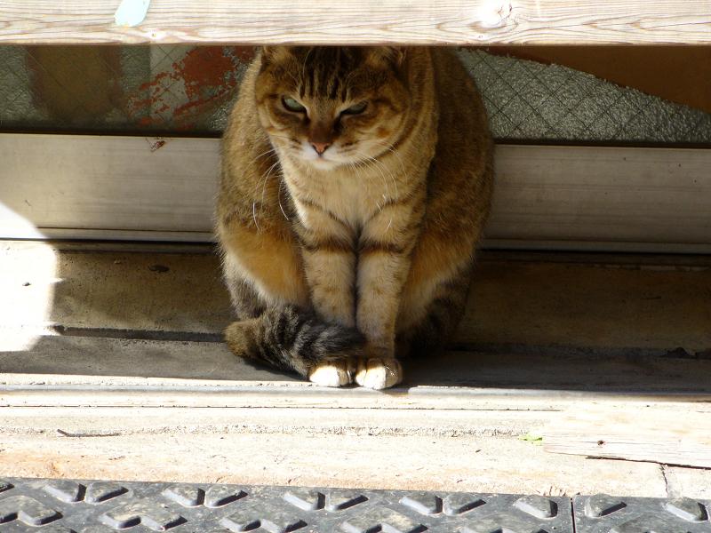 木製ベンチの下のキジ白猫3