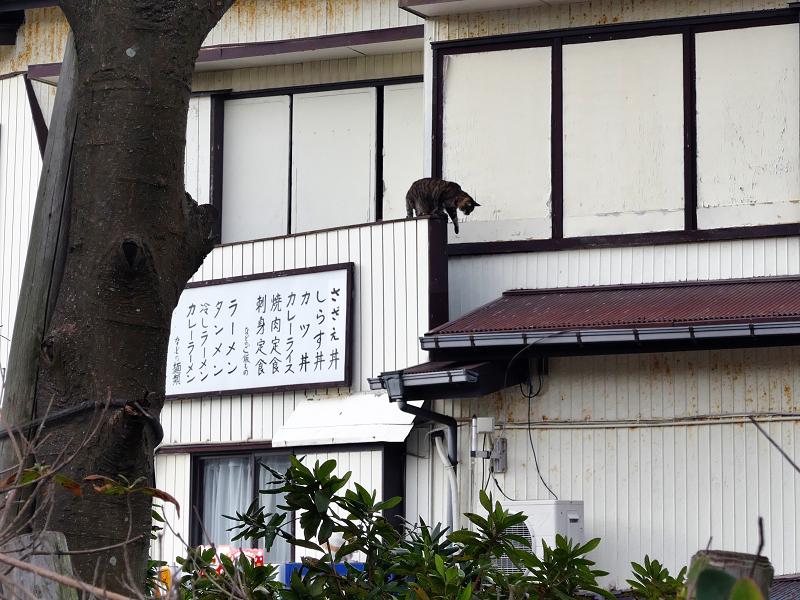 2階から出た来たキジトラ猫1