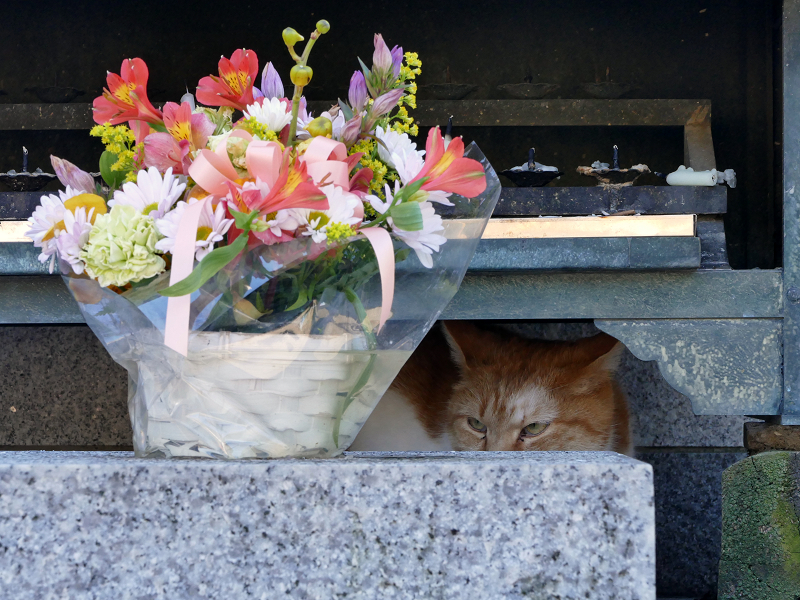献花香台奥の茶白猫1