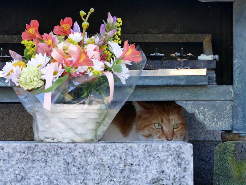 献花香台奥の茶白猫2