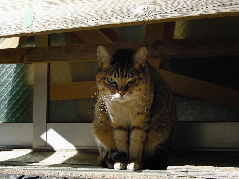 ベンチの下から睨むキジ白猫2