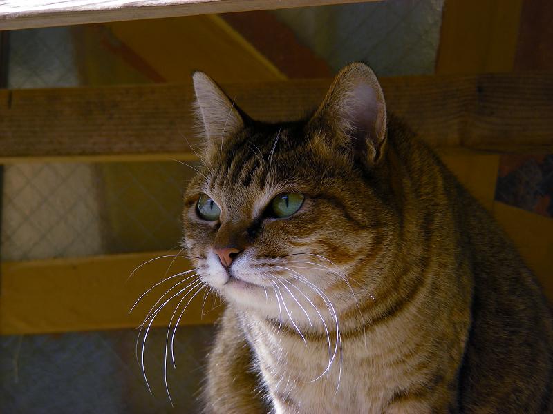 ベンチの下から睨むキジ白猫3