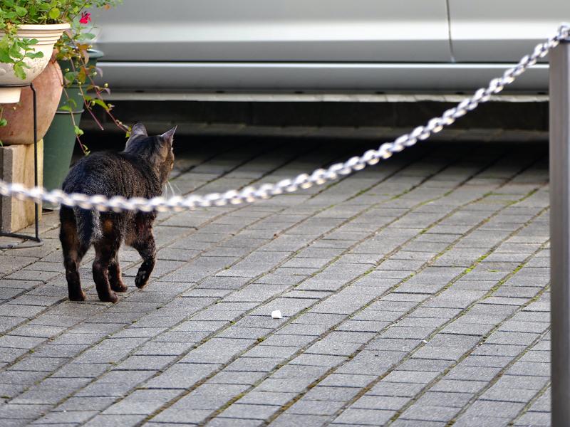 走り去るキジトラ猫の後ろ姿2