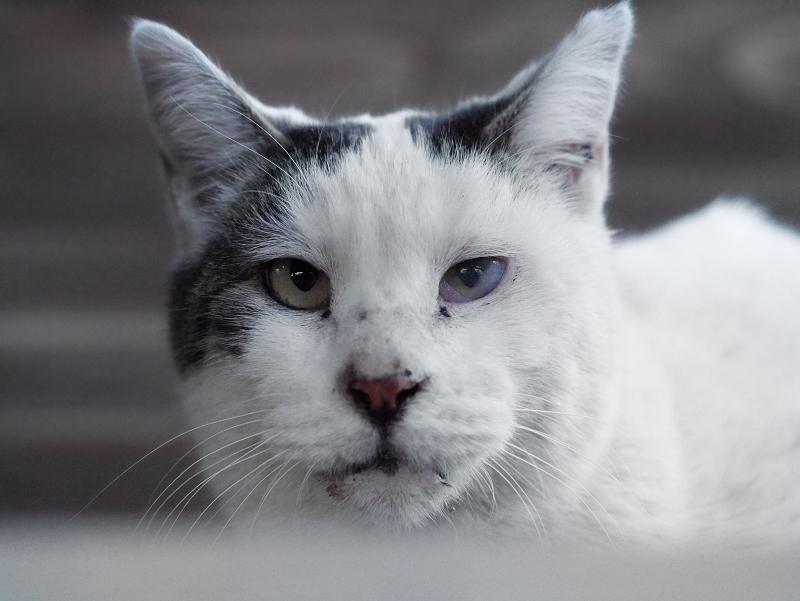 廻り縁でカメラ目線の白黒猫1