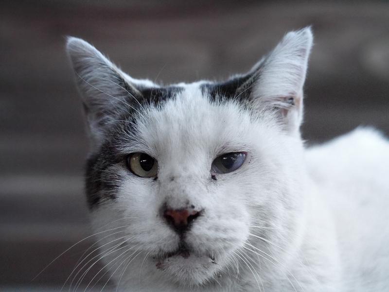 廻り縁でカメラ目線の白黒猫2