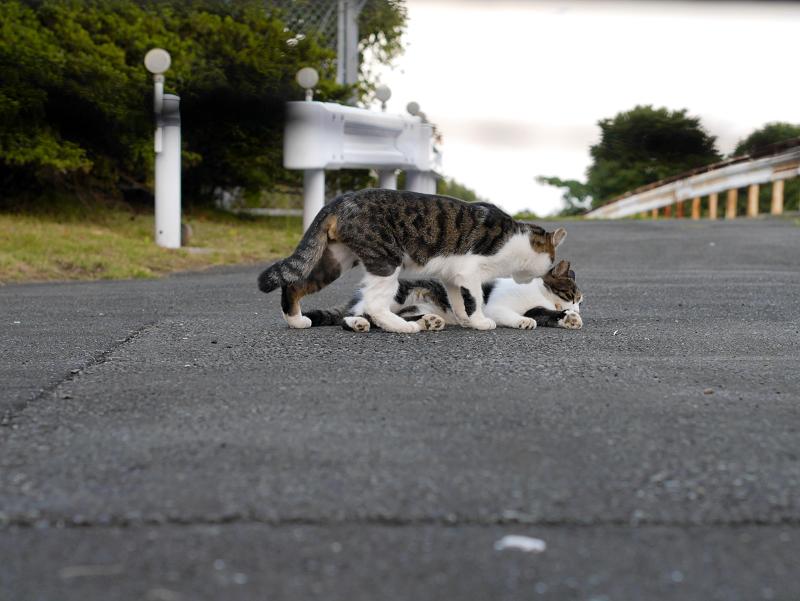 ガードレールとキジ白猫2匹1