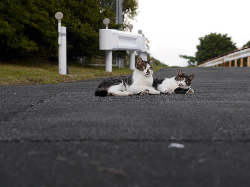 ガードレールとキジ白猫2匹2