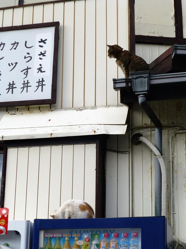 屋根から降りられないキジトラ猫2