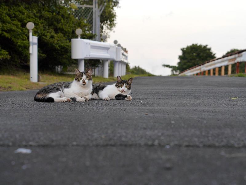 ガードレールとキジ白猫2匹3