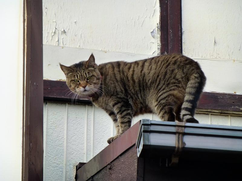 屋根から降りられないキジトラ猫3
