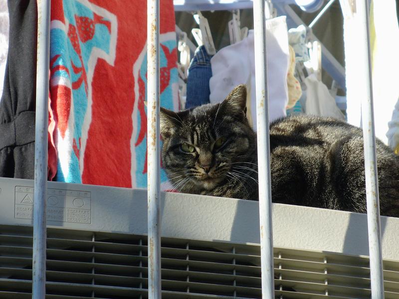 洗濯物とキジトラ猫