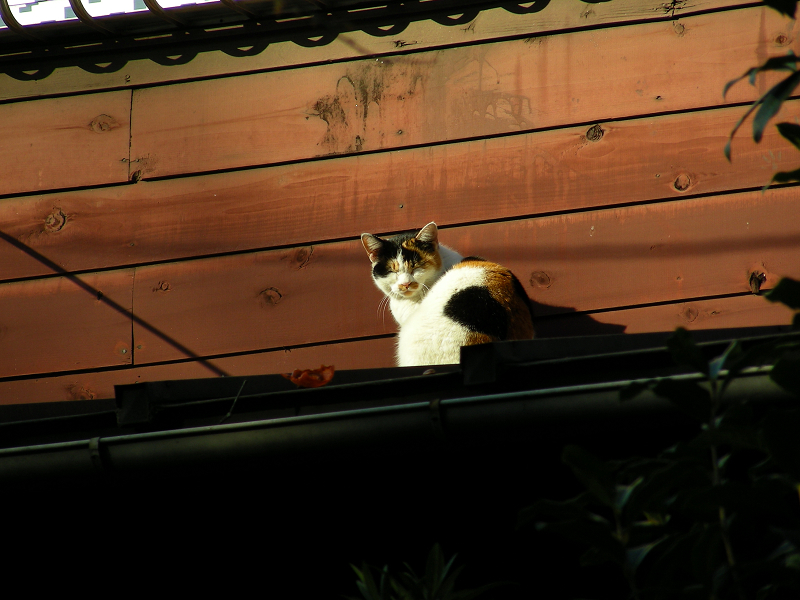 木の壁と三毛猫3
