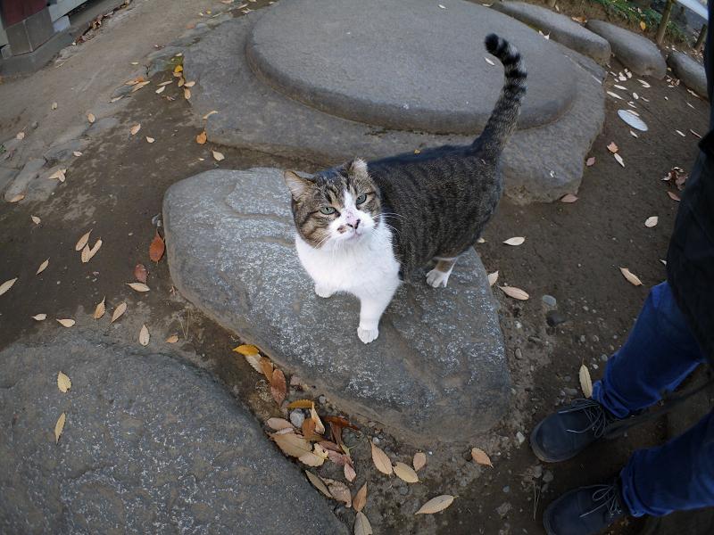 礎石とキジ白猫1