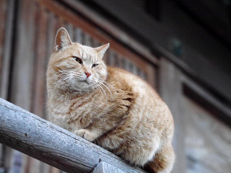 濡れ縁手すりに乗った茶トラ猫2