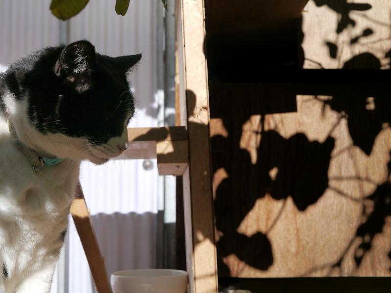 冬日差しと黒白猫1