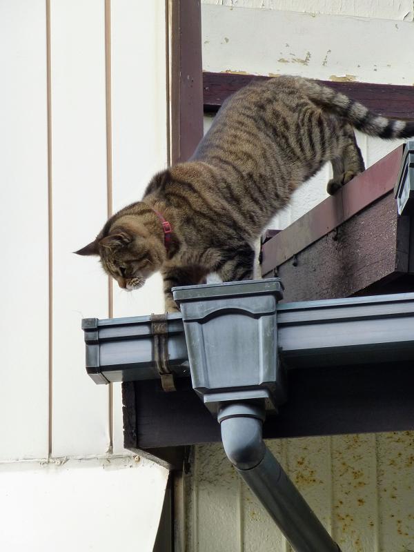 屋根から降りようとしてるキジトラ猫1
