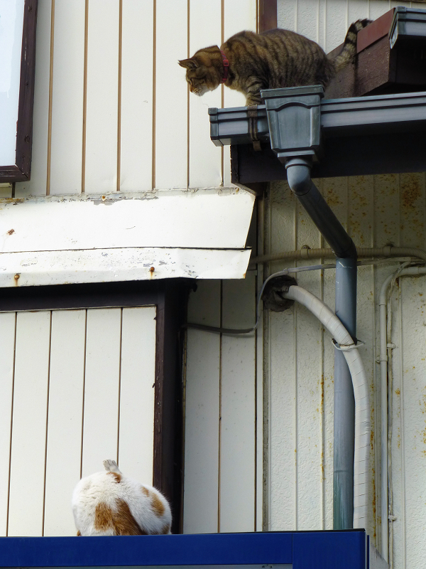 屋根から降りようとしてるキジトラ猫3