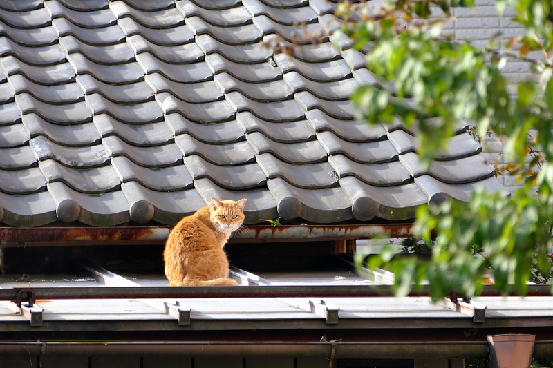屋根の茶トラ猫