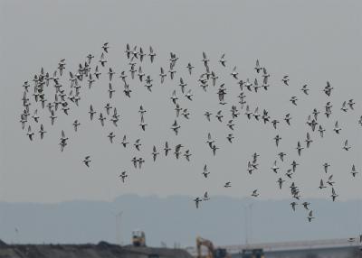 8 ハマシギの群れ