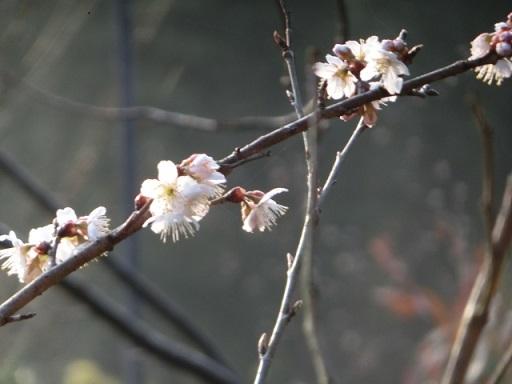 2018-02-27 kawadu-sakura