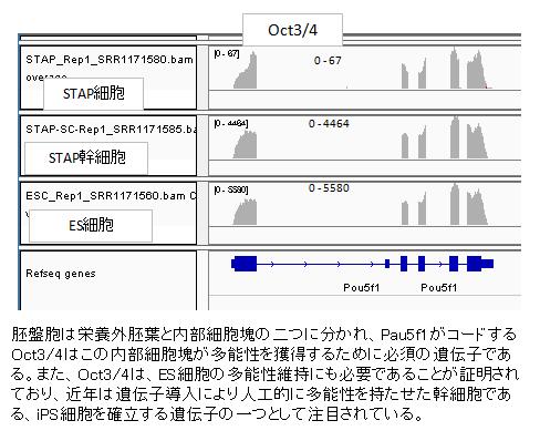 発現pou5f1-2