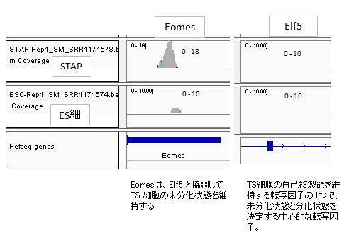発現Eomes-Elf5-2