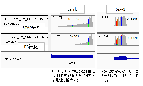 発現Esrrb-Rex-2