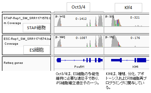 発現pou5f1-Klf4-2