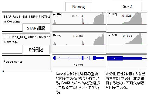発現sox2-nanog-2