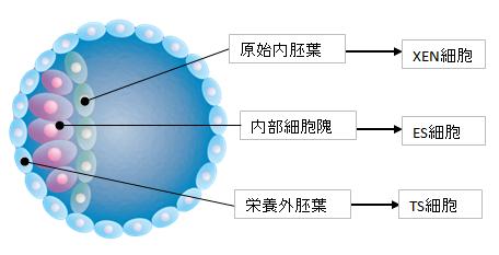 3幹細胞-2
