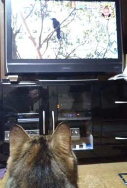 テレビの中のカラスに集中するキジトラ「あや」