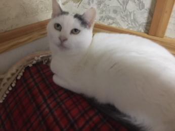 白黒八割れ猫「ルナ」さん2018年2月