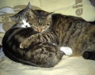 キジトラ「あや」と渦巻き柄「まり」が抱き合って寝ているときもある
