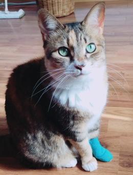 ルナさんの同居猫三毛猫「チャイ」さん2018年2月