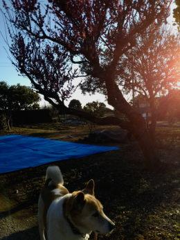 朝日の中の桃の木とゴンタ