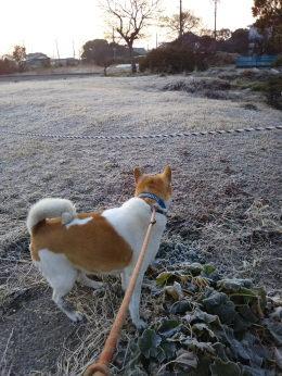 ゴンタとの朝の散歩 霜で真っ白な空き地