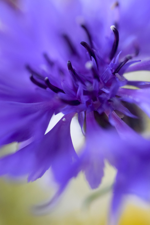 cornflower_17_12_4_1.jpg