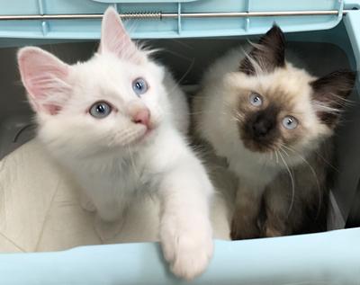 ローズちゃん(白)とジャスミンちゃん(3ヶ月位)