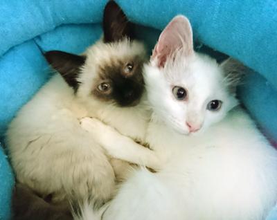 美人姉妹ネコジャスミンちゃんとローズちゃん(白)