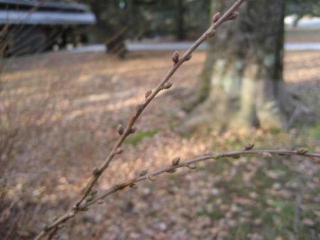 180118御所さんぽ①ユキヤナギの芽