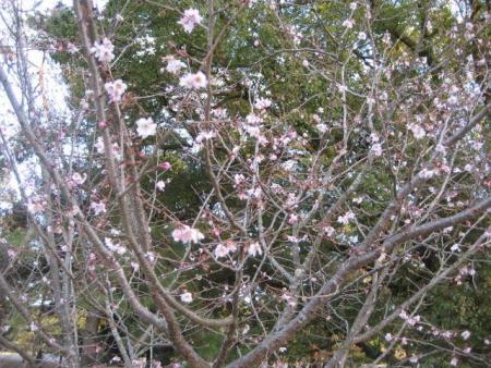 180120御所さんぽ①寒桜