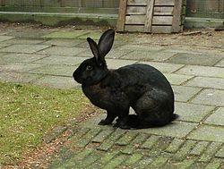 belgian hare2