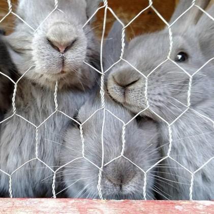 beveren-rabbit-1-421x421.jpg