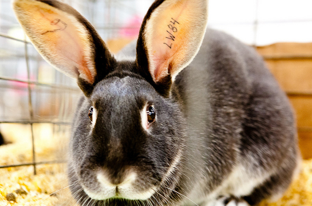 silver-marten-rabbit.jpg